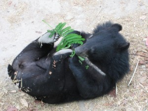 A rescued bear enjoys its new life.